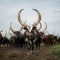 Ankole herd. Lake Mburo district, Nyabushozi, Western Region, Ug