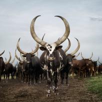 Ankole herd. Lake Mburo district, Nyabushozi, Western Region, Ug