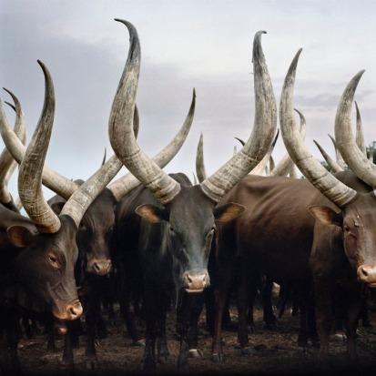Group of Ankole cattle. Kiruhura district, Western Region, Ugand